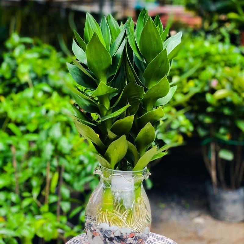 cây để bàn làm việc dành cho người mệnh kim