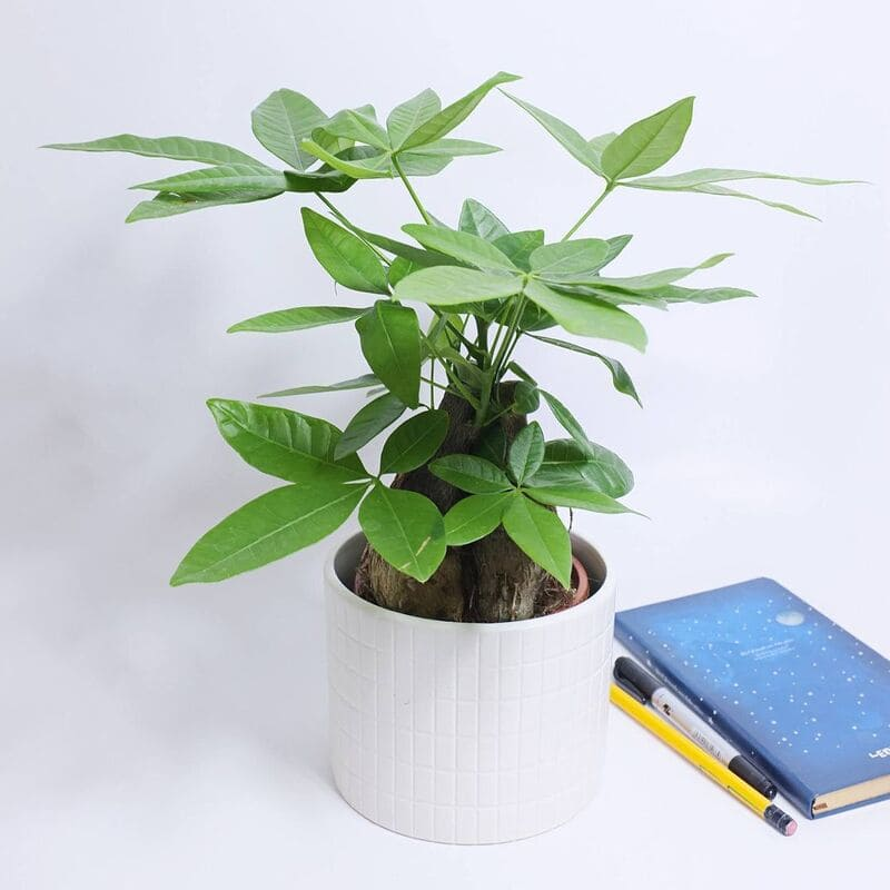 cây để trên bàn làm việc