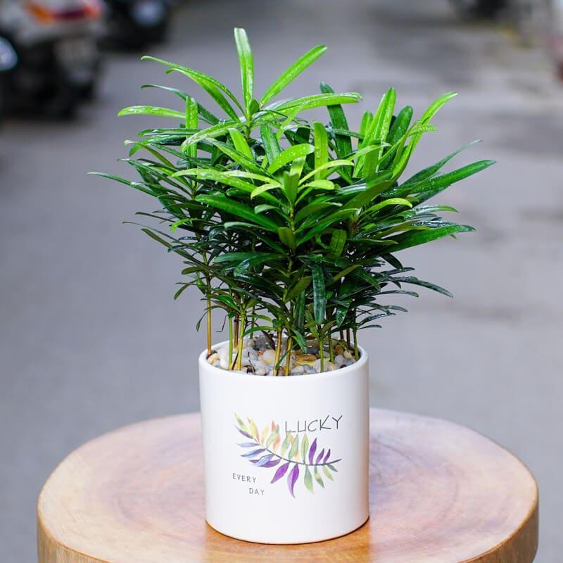 cây để bản làm việc hợp với mệnh thủy