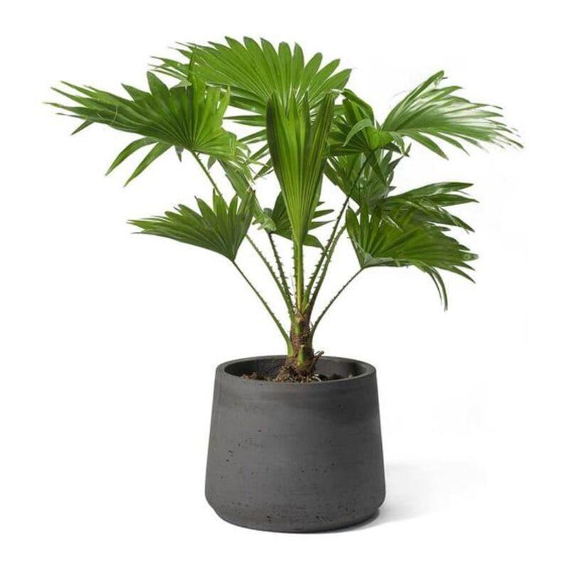 mẫu cây để bàn làm việc người mệnh thủy